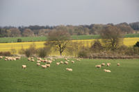 Ewes at Chilbolton