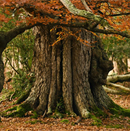 Ancient tree in the New Forest