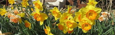 Daffodils in Walled Garden at Cannington